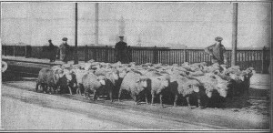 Sheep On Chestnut Street Bridge-2-17-1915